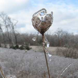 Queen Anne's Lace encased in ice.